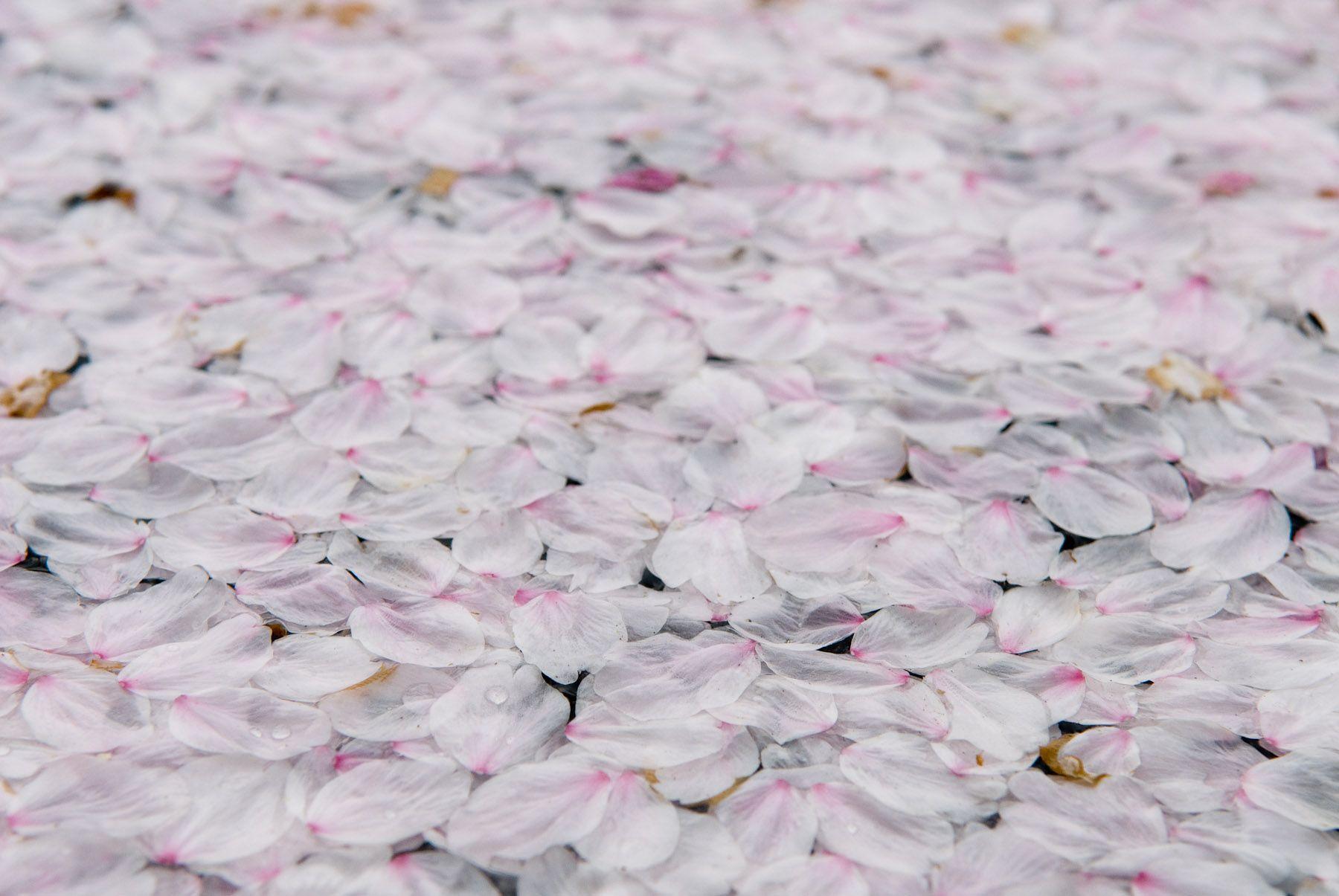 Картинки с лепестками сакуры