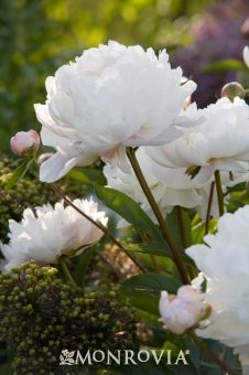 Duchesse De Nemours Peony Old Fashioned Perennial Valued For Its