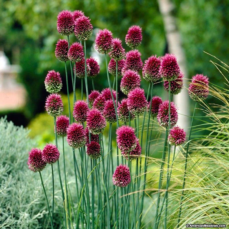 Purple Allium Bulbs Drumstick Allium Sphaerocephalon Persian Onion Allium Flowers Plants Bulb Flowers