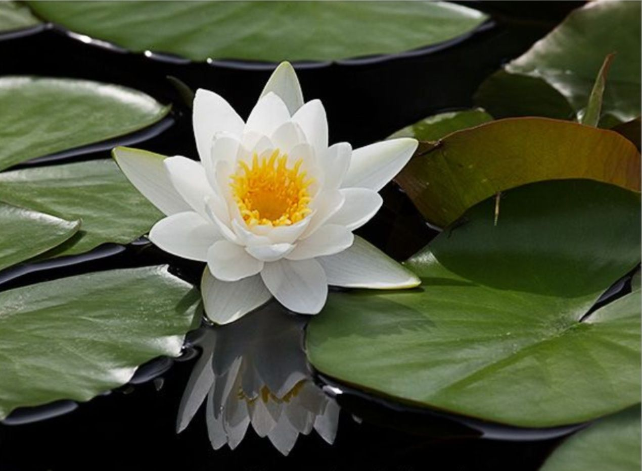Lily pad flower party frog pinterest water lilies lily pad flower izmirmasajfo Images