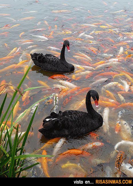 Cisnes en un mar de carpas Koi.