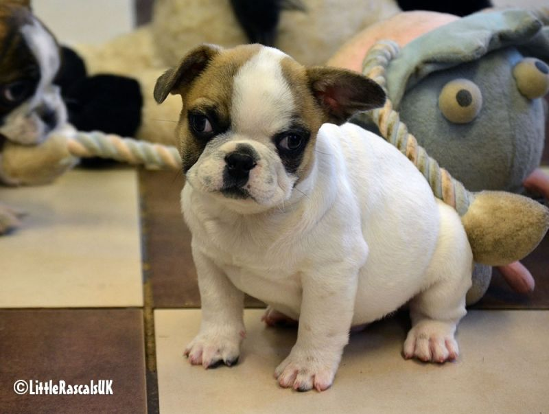 Frug Puppies For Sale Little Rascals Pets Ltd Puppies French