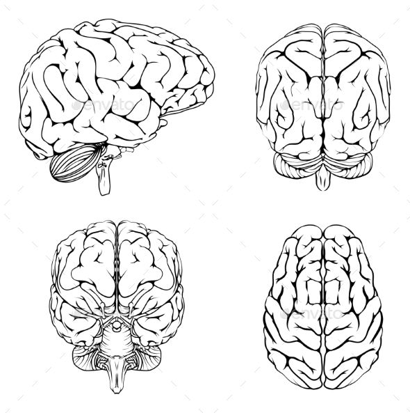 Brain From Top Side Front And Back Brain Illustration Brain Drawing Brain Diagram