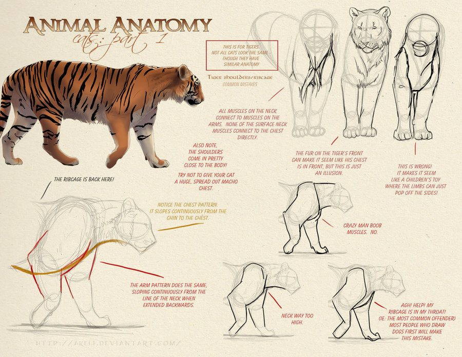 Tiger Anatomy. Artist reference wild cats by akeli. | Animal Anatomy ...