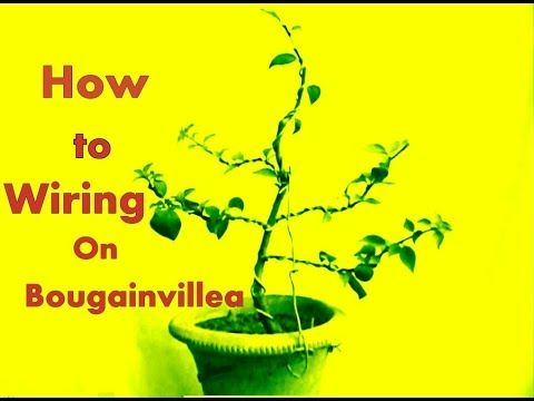Strange How To Wire A Bougainvillea Youtube Gardening And Floral Wiring 101 Cajosaxxcnl
