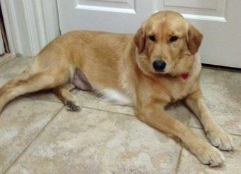 Petfinder Adoptable Dog Golden Retriever Houston Tx Cici