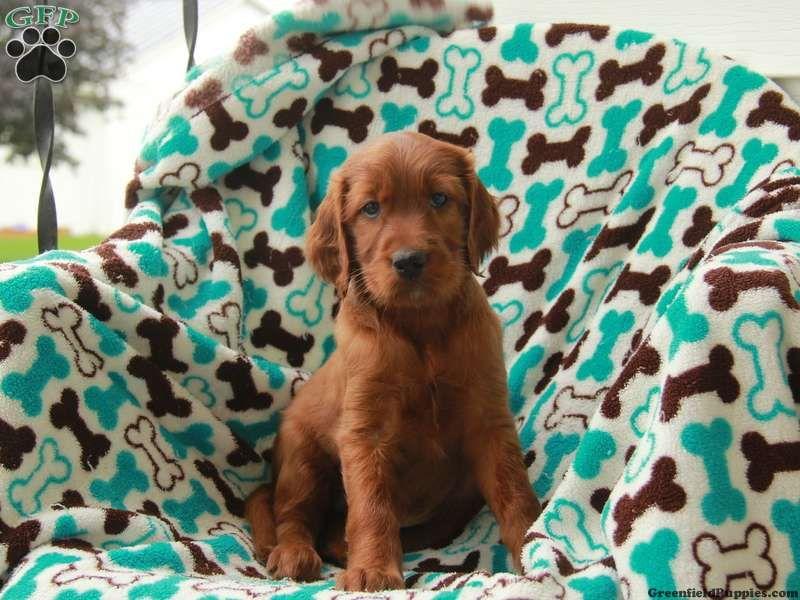 Irish setter puppies for sale in pa irish setter puppy