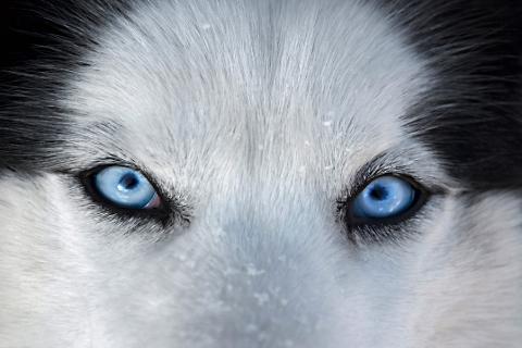 Beautiful Eyes Husky Eyes Siberian Husky Blue Eyes Wolf Eyes