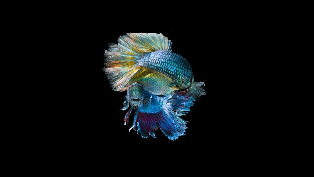 Pin On Fish Free Betta fish live wallpaper