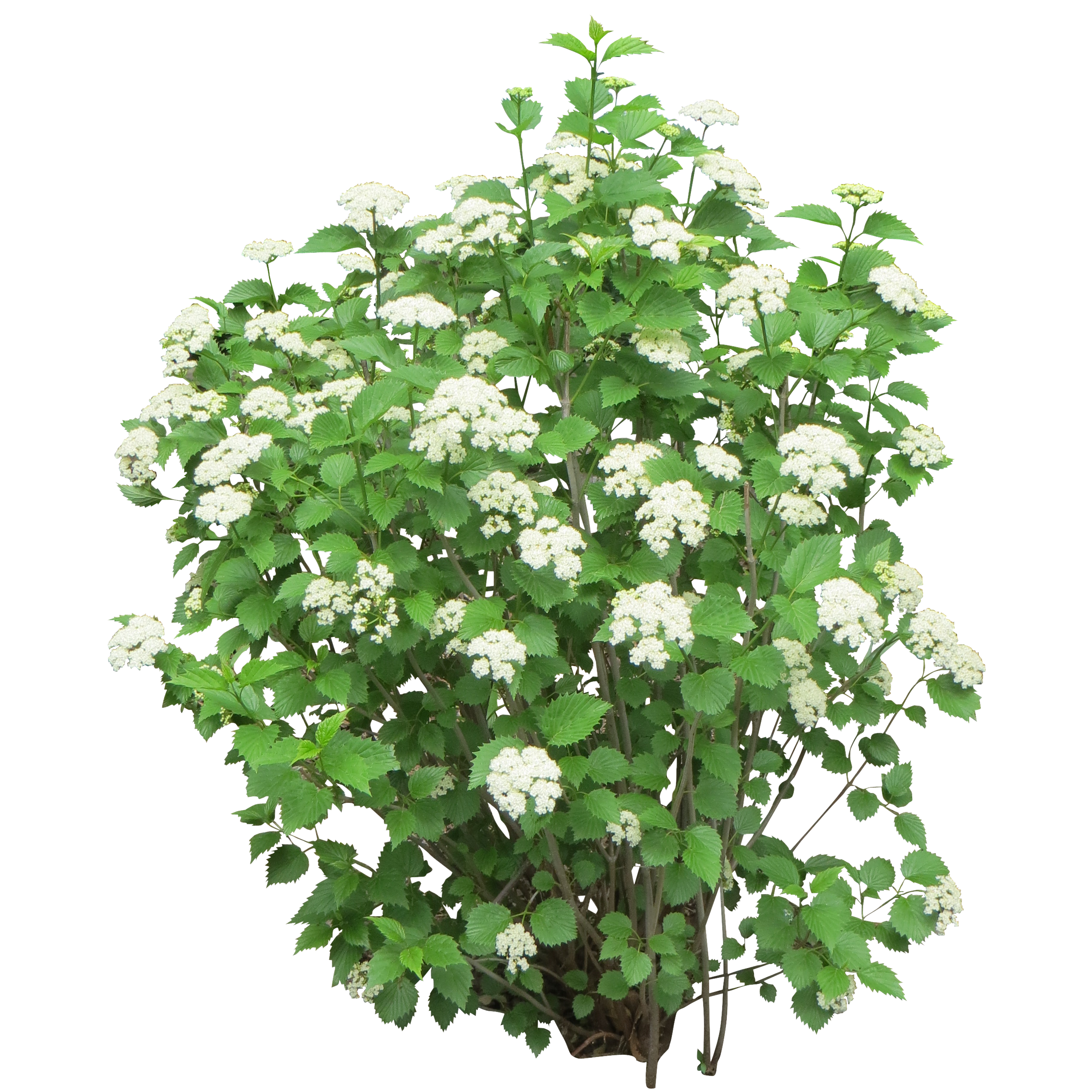 Bush With White Flowers Png 2527 2527 Bush With White Flowers Plants Shrubs