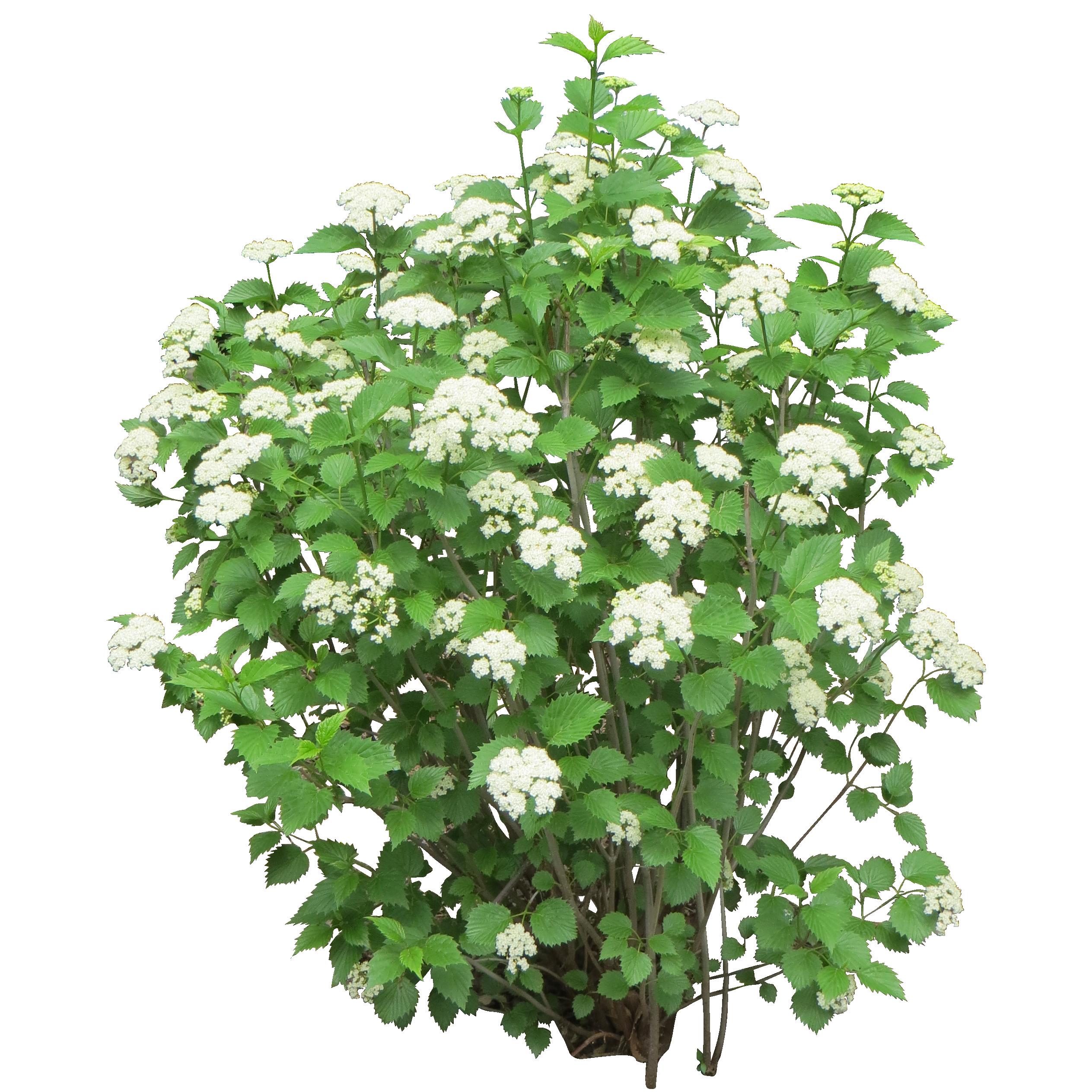 Bush PNG image Rośliny