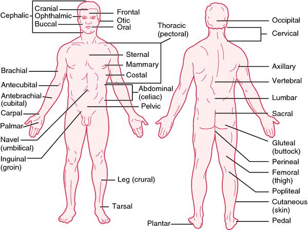 Dorsal Recumbent Position Definition Of Dorsal Recumbent Position