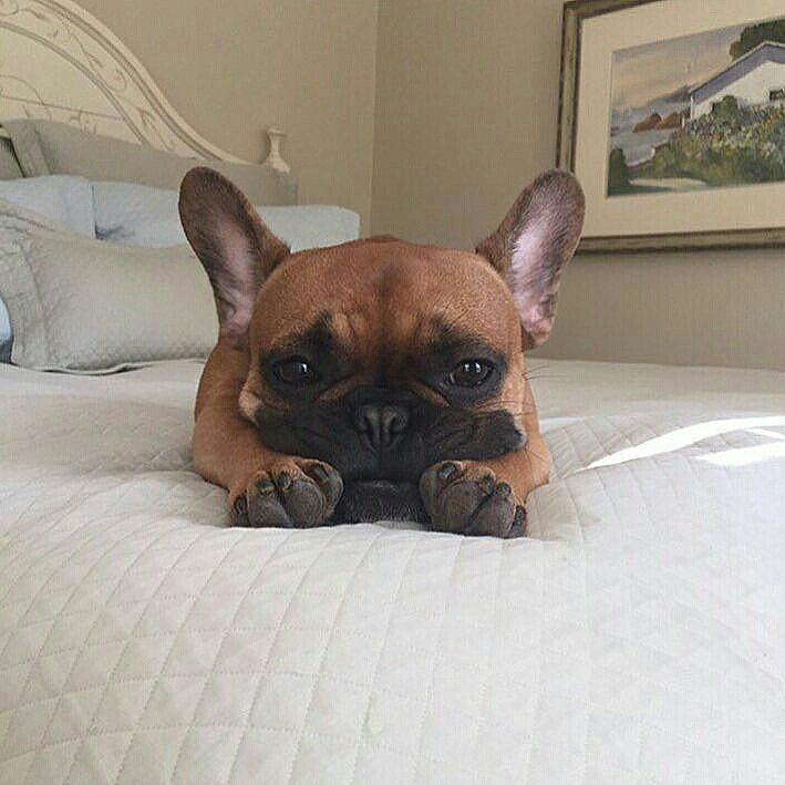 That Sounds Really Fun And All But I M Actually Going To Be Busy Not Doing That Brucethefrenchbully French Bulldog French Bulldog French Bulldog Breeders Cute Animal Photos