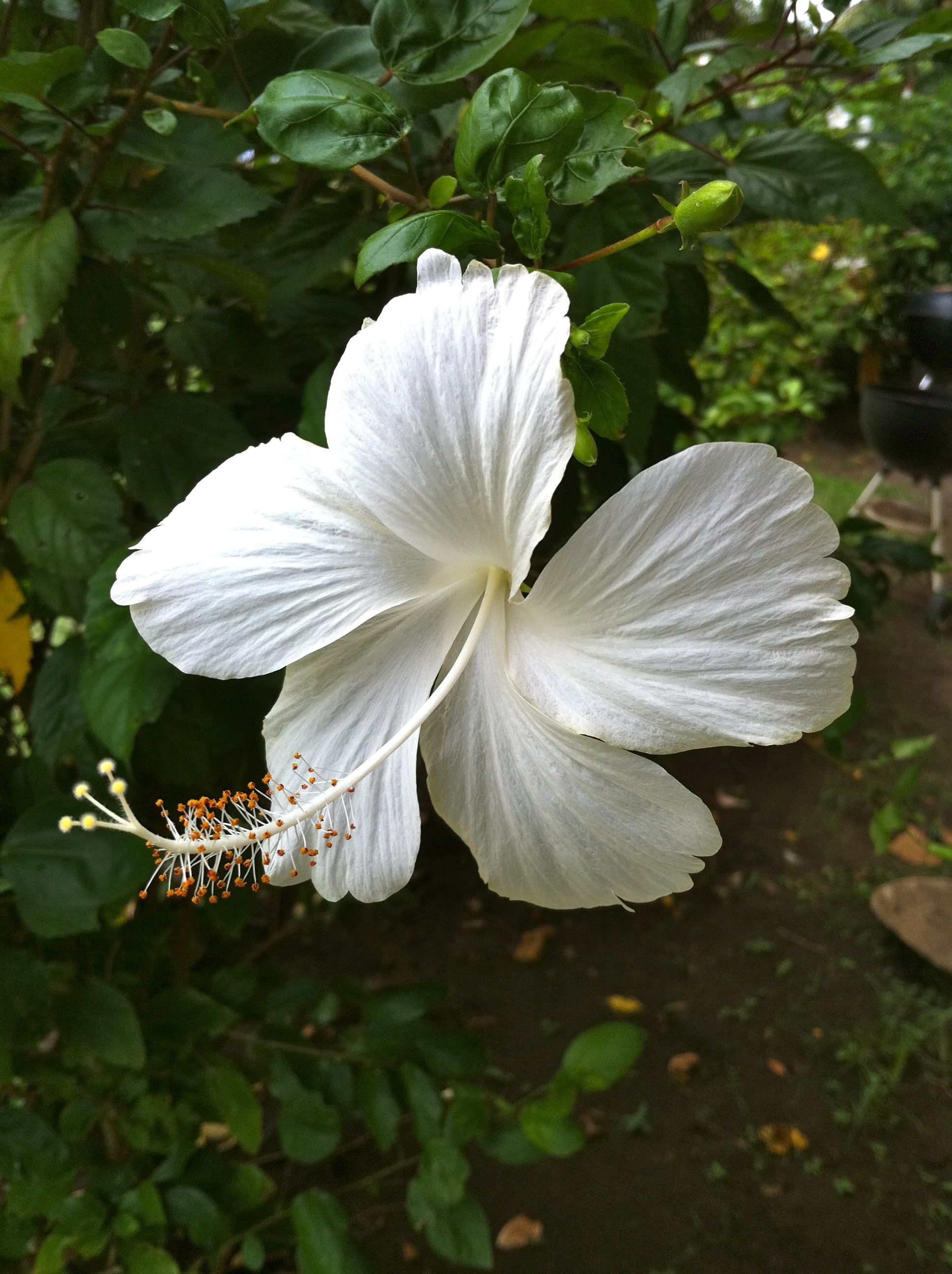 Pin By Travel Journeys On The Hawaiian Islands White Hibiscus Growing Hibiscus Hibiscus