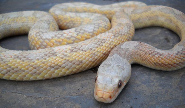 Allen Sheehan Reptiles- Lavender Albino Texas Ratsnake