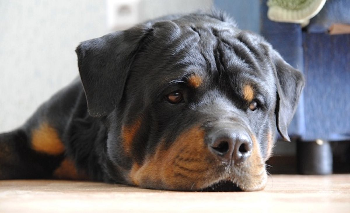 Different Types Of Rottweiler Dog