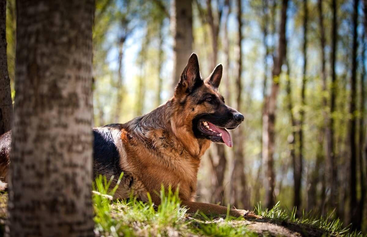Welche Hunderasse Passt Zu Mir Grosse Hunde Wie Der Deutsche Schaferhund Lassen Sich Gut Zum Schutzhund Ausbilden U Hunde Rassen Welche Hunderasse Welcher Hund