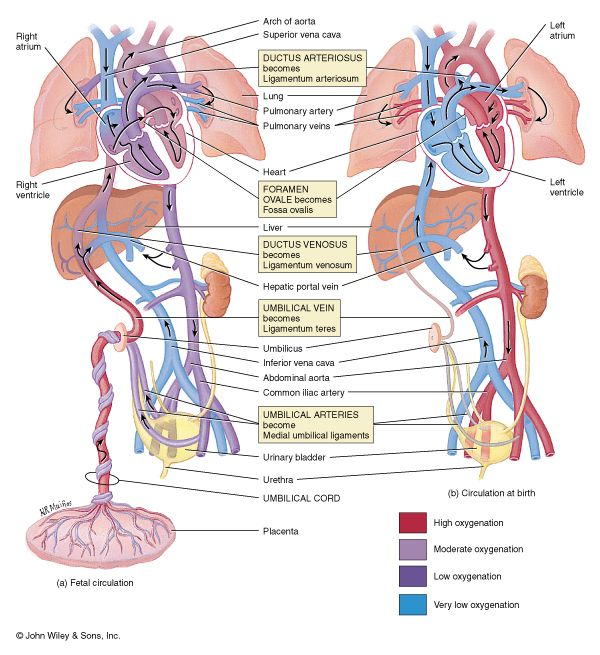 Fetal Circulation Midwifery Student Pediatric Nursing Neonatology