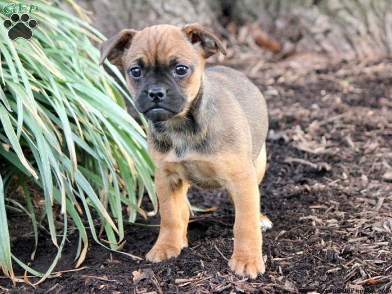 Odessa Jug Puppy For Sale From Leola Pa Puppies Jug Puppies