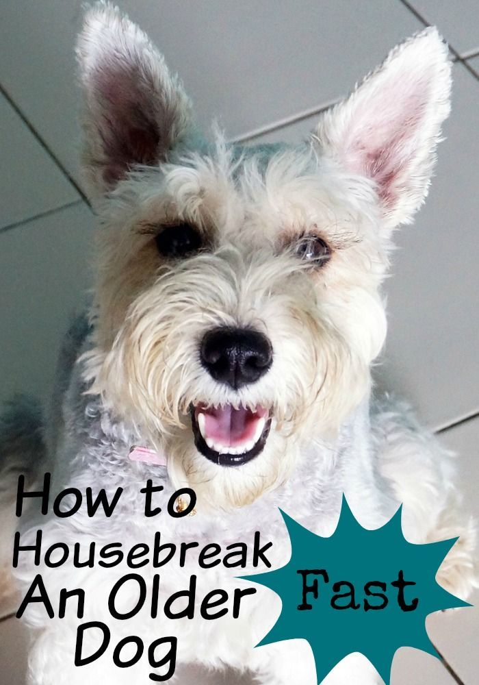 How To Housebreak An Older Dog Fast Training Your Puppy