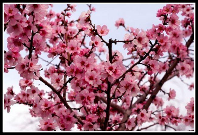 Cherry Blossoms Spring Scene Flowering Trees Spring