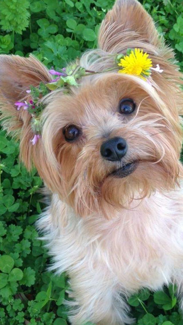 Wesley March 2016 Yorkie Dogs Biewer Yorkie Yorkie Moms