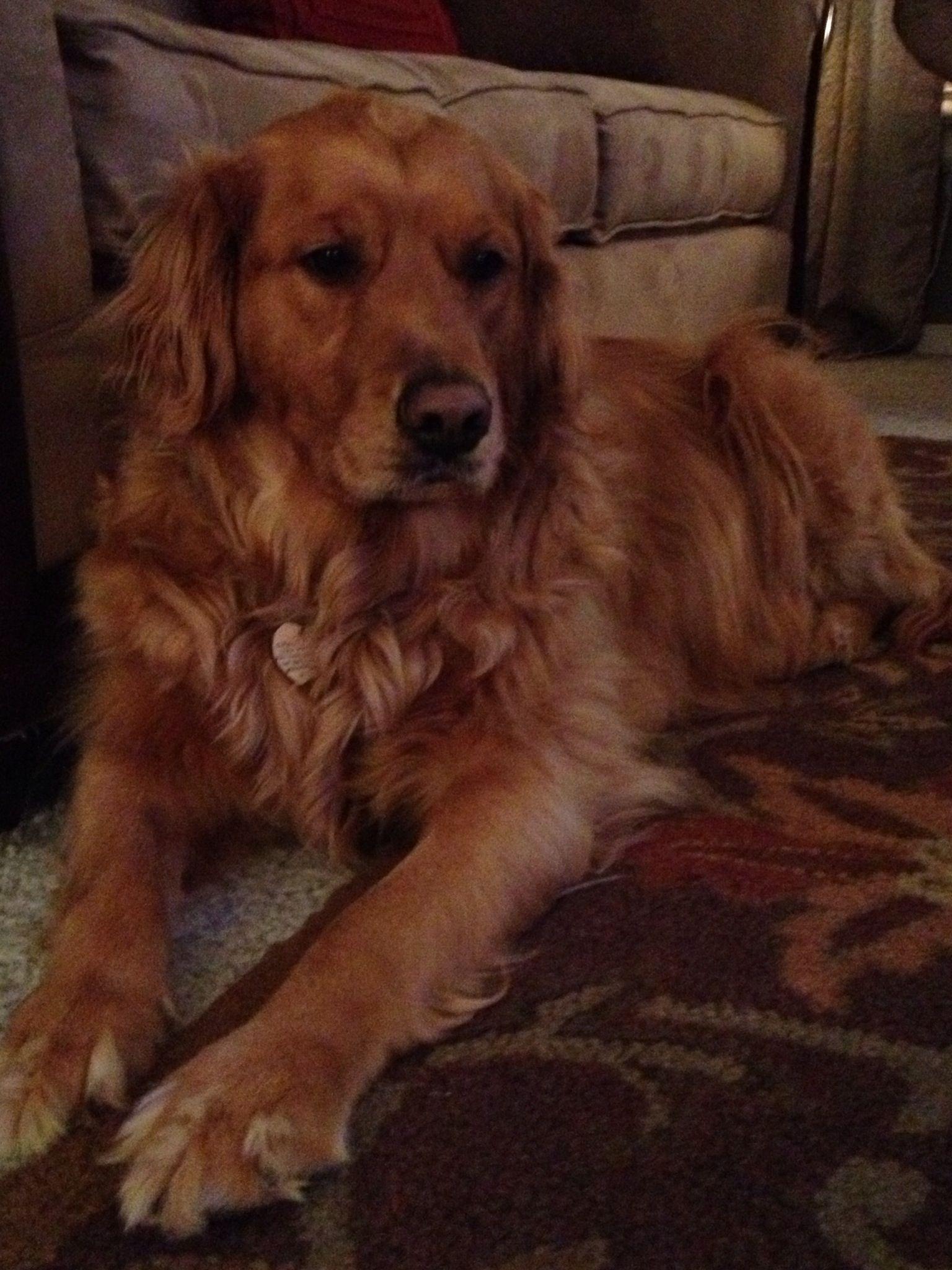 Golden Memories Golden Retriever Retriever Dogs