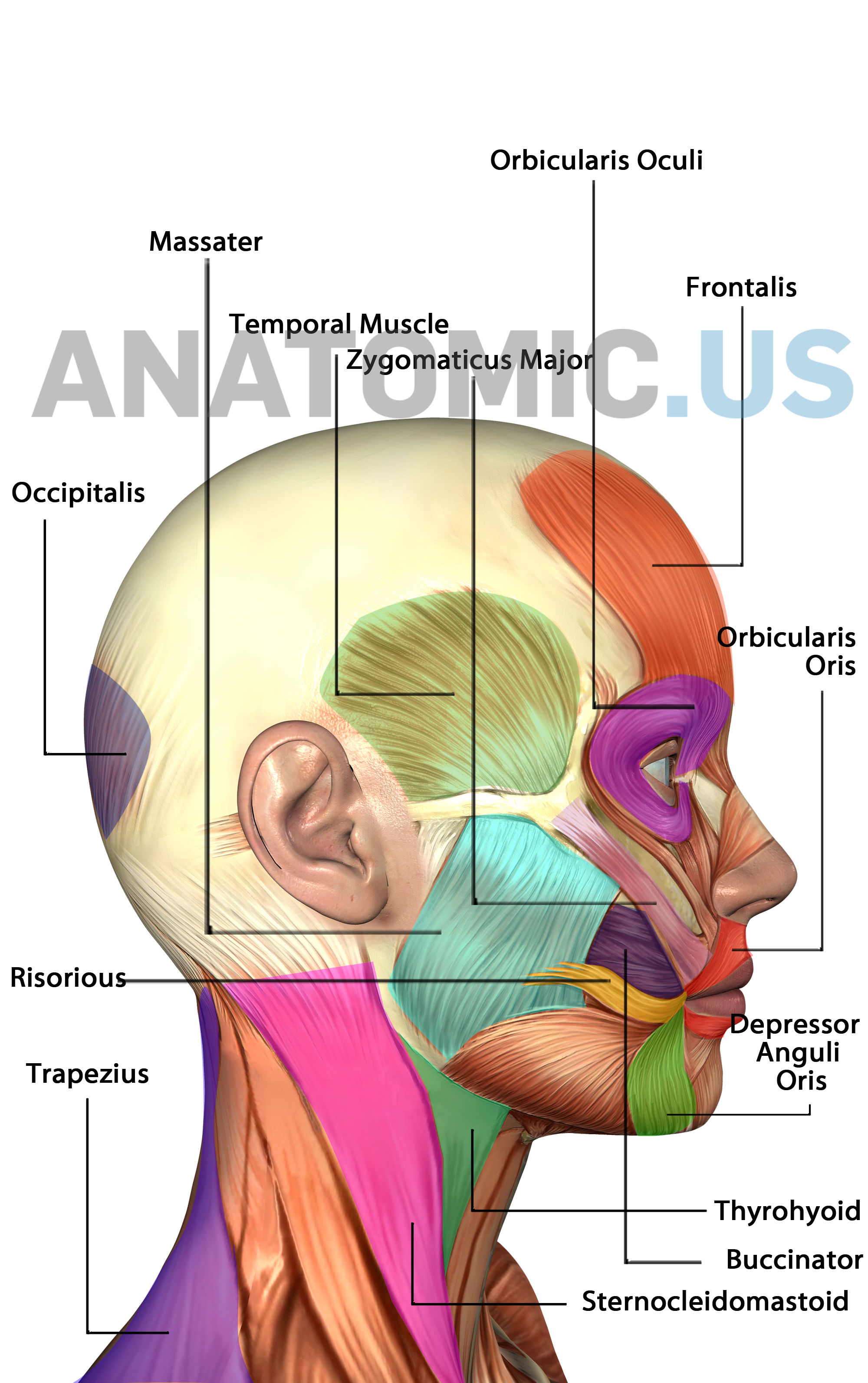 Muscles of Face - Anatomy Flashcards - Anatomic.us Muscles of Face ...