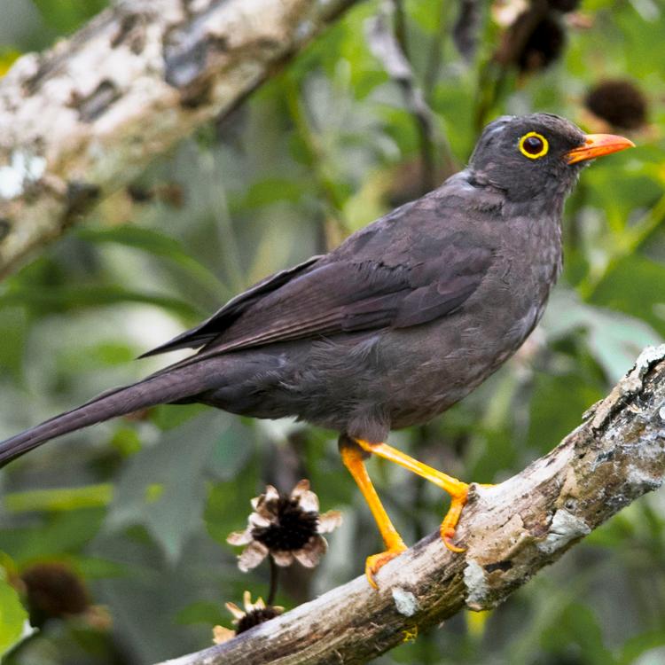 La Mirla Comun Es Una De Las Aves Mas Comunes De Los Climas Frios Es La Mas Grande Entre Las Mirlas De Colombia S Vacaciones En Colombia Aves Huerto Frutal