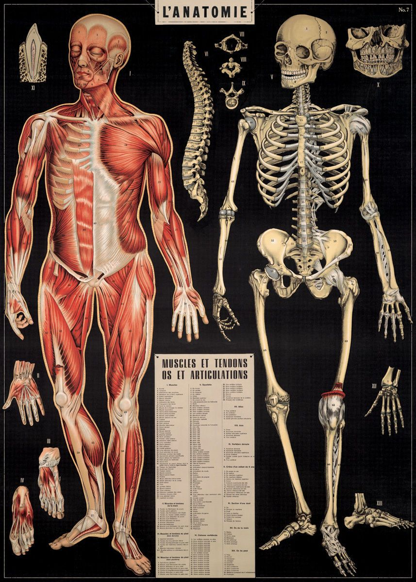 Posters Human Anatomy Physiology Chart of Human Body Vintage Art ...
