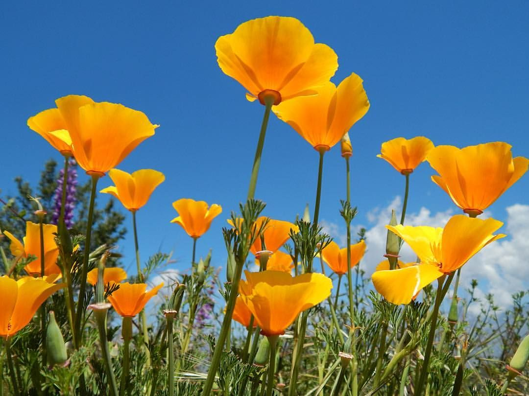 California Poppy🌼 the state flower of California, is