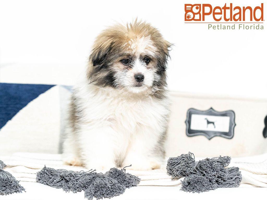 Petland Florida has Shiranian puppies for sale! Check out