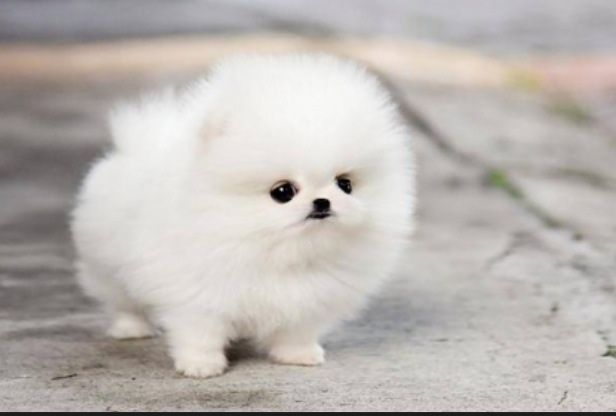 Fluff Ball Puppies Puppies Cute Puppies Pomeranian Puppy