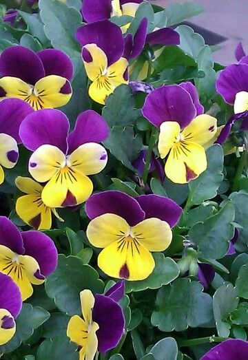 Pin By Karsan Dzierwa On Fragile Happiness Pansies Flowers Plants