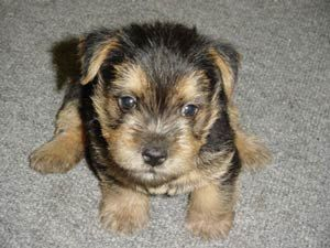 Norwich Terrier Puppy So Getting When We Get Our Place