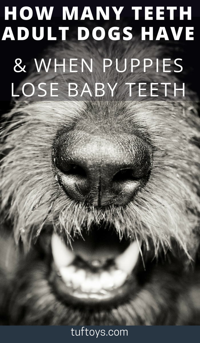 How Many Teeth Do Adult Dogs Have When Do Puppies Lose Baby Teeth Dogs Having Babies Adult Dogs Baby Teeth