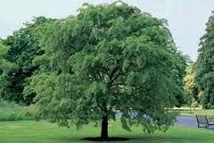 This Is What I Hope My Drake Elm Turns Out Like When It Is Fully Grown Shade Trees Beautiful Tree Backyard Trees