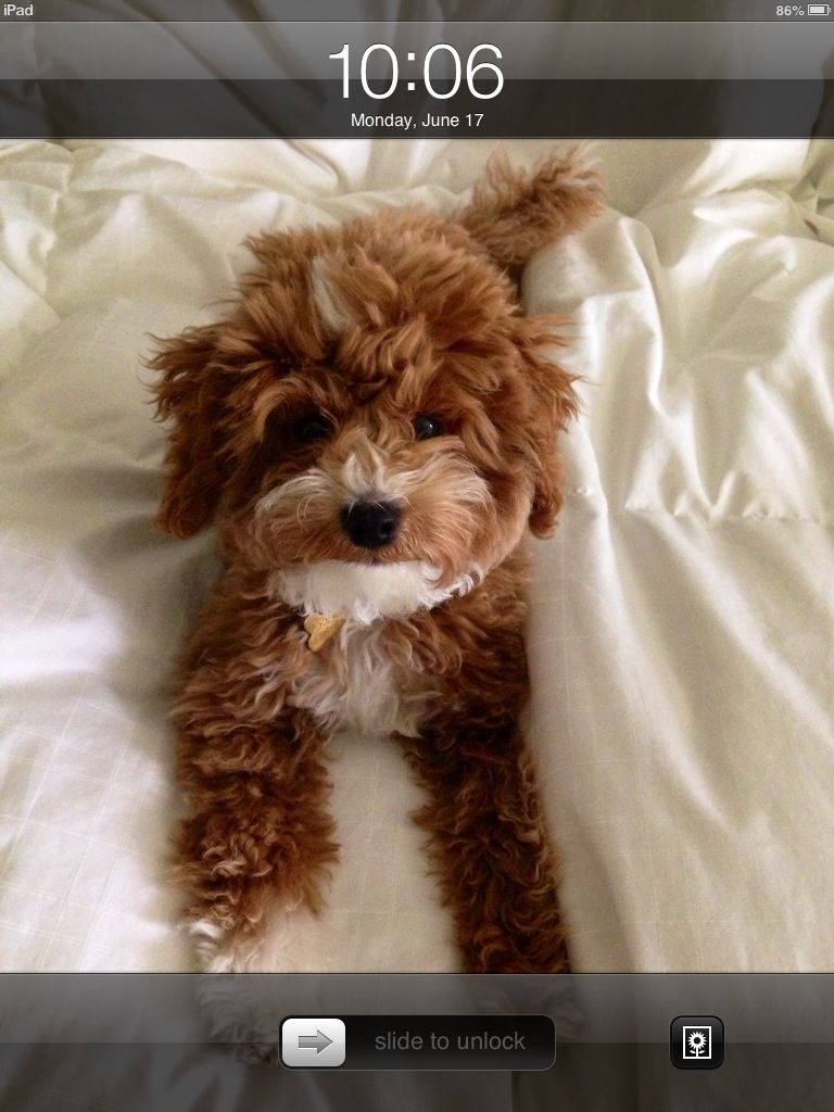 chocolate teacup maltipoo - photo #10