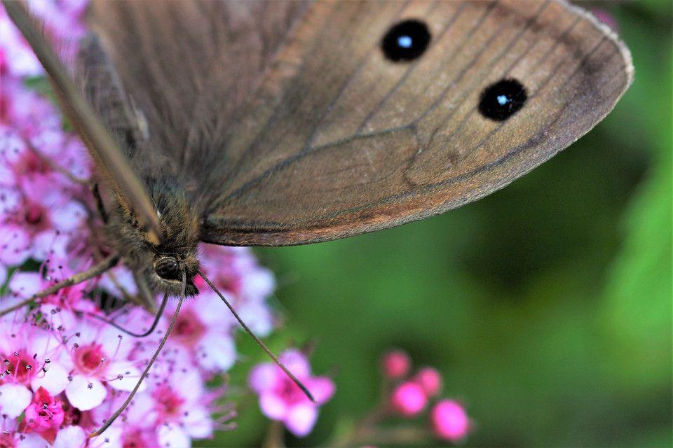 花を撮っていたら蝶(ジャノメチョウですか?)発見! 遠くからソロリソロリと近付いて最後は30㎝位まで寄れました*^^* 意外と毛深いのでビックリ!! なんとか目にピントが合いました(^_-)-☆