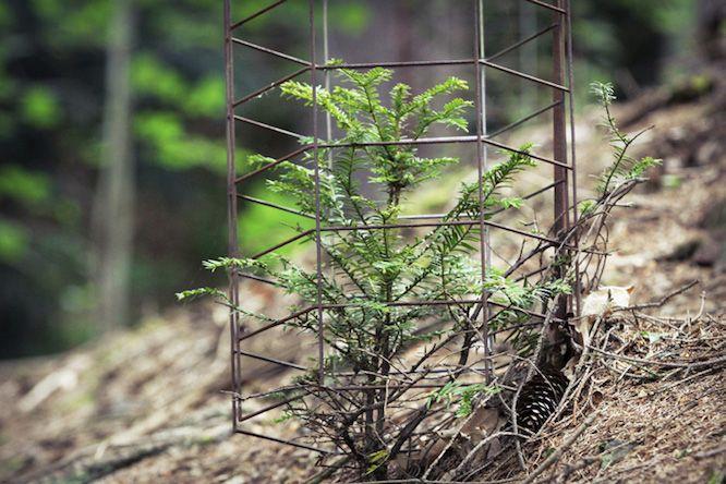Die kommenden Eibengenerationen wachsen vor Wildverbiss geschützt in Kürassieren heran