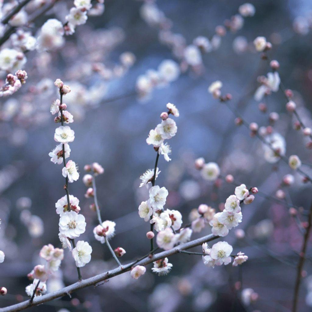 blossoms | cherry & tree blossomschristy nop | pinterest