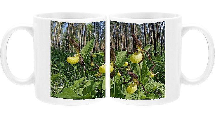Photo of Print of Ladyճ – slipper Orchid – flowering wild – plants