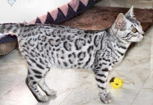 Coolest Kitten Ever Bengal Kitten Bengal Kittens For Sale Bengal Cat For Sale