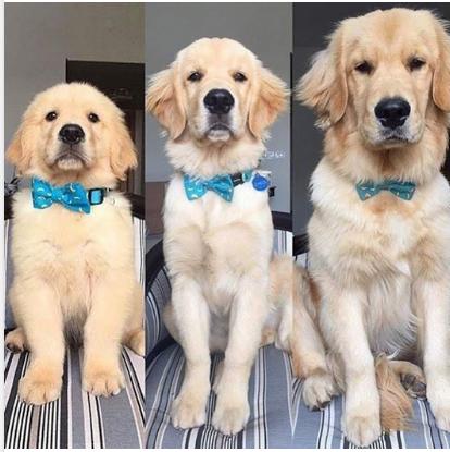 Golden Retrievers Get So Big Cute Animal Photos Cute Dogs Cute Animals