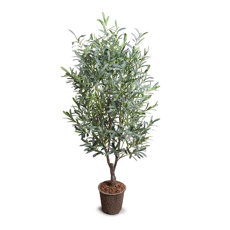 Amazon Com Arbequina Olive Tree 5 6 Feet Tall Get Olives 1st Year With Large Olive Trees Indoor Patio Live Arbequina Olive Tree Citrus Trees Orchid Care
