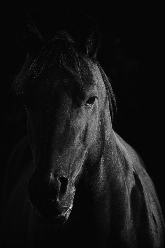 Horse photograph black and white horse photography by jrefer 74 00