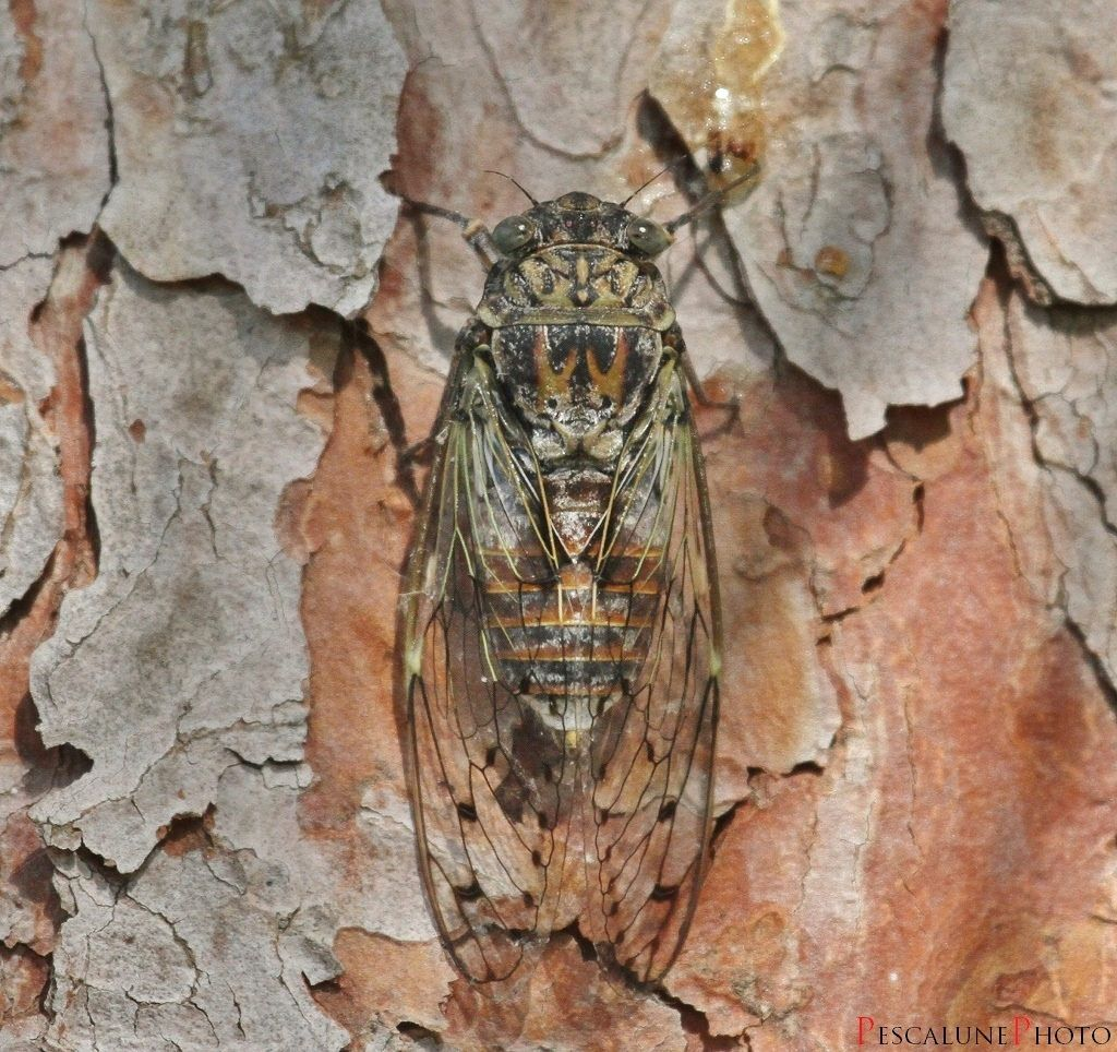 Cigale de l'Orne (Cicada orni)