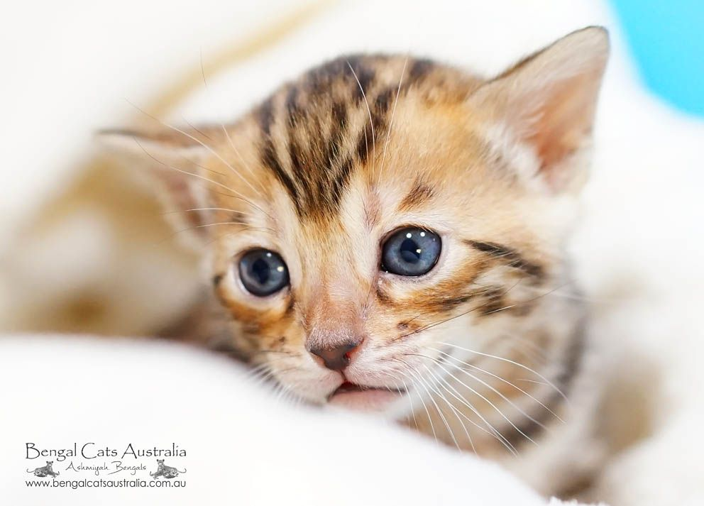 Meet The Bengal Cats And Kittens Of Ashmiyah Bengals Bengal Cats Australia What More Could One Want In Life We Ho Bengal Kitten Cats And Kittens Bengal Cat