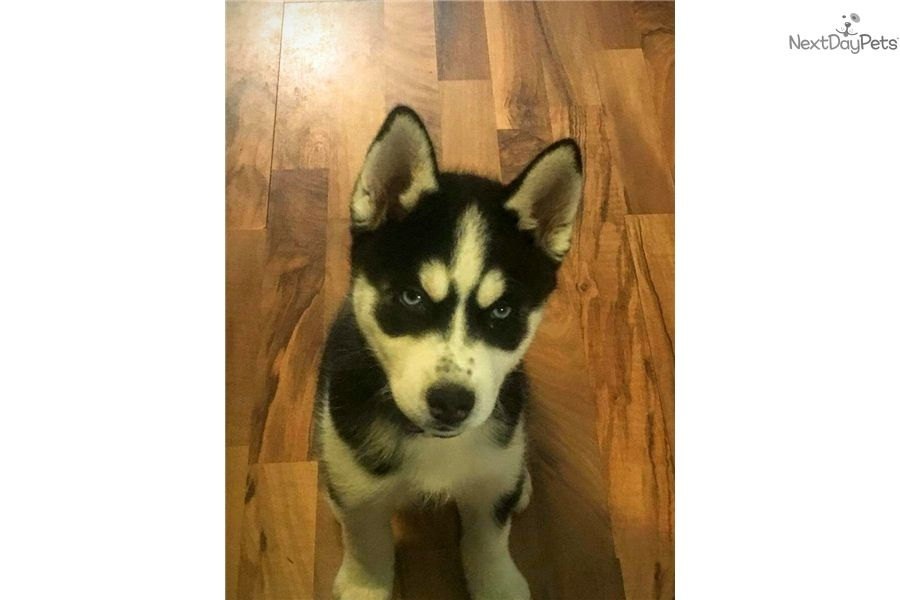Siberian Husky Puppy For Sale Near St Louis Missouri 5b010b85