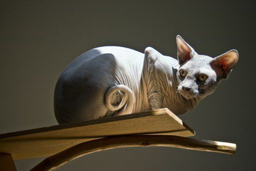 Sphynx Cats What You Should Know Before You Buy One Hairless Cat Bambino Cat Cat Breeds